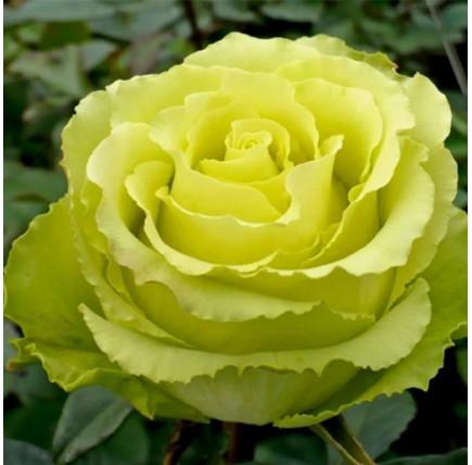 Роза кустовая «Лимбо»