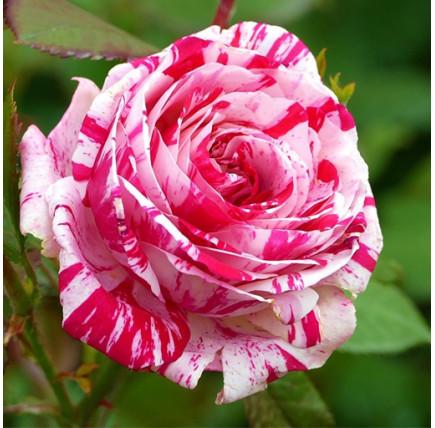 Роза кустовая «Сатин»