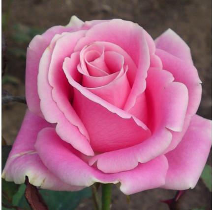 Роза кустовая «Аква»