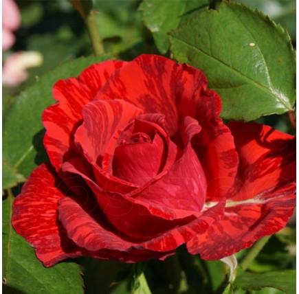 Роза кустовая «Ред Интуишн»