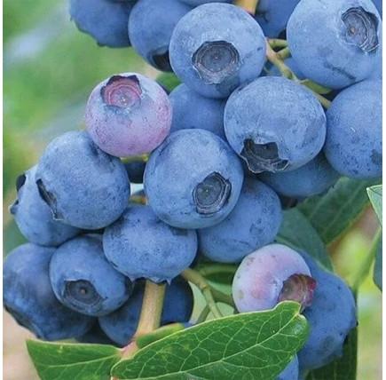 Голубика «Блюэрли»
