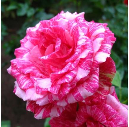 Роза кустовая «Пинк Интуишн»