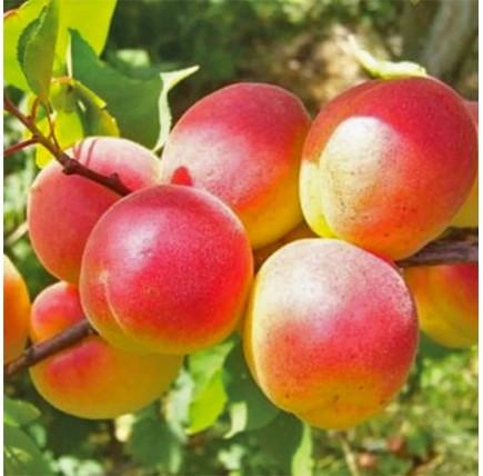 Абрикос «Персиковый»