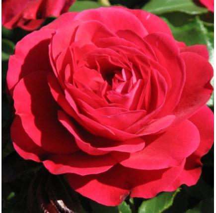 Роза кустовая «Мона Лиза»