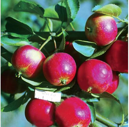 Яблоня Диво