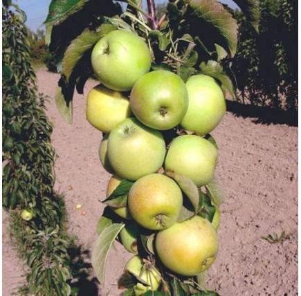 Колоновидная яблоня «Статистика»