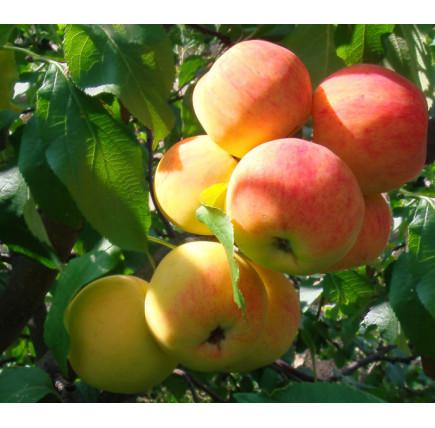 Яблоня Малинка