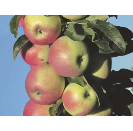 Колоновидная яблоня «Память Блынского»