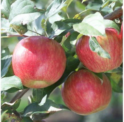Яблоня Скала